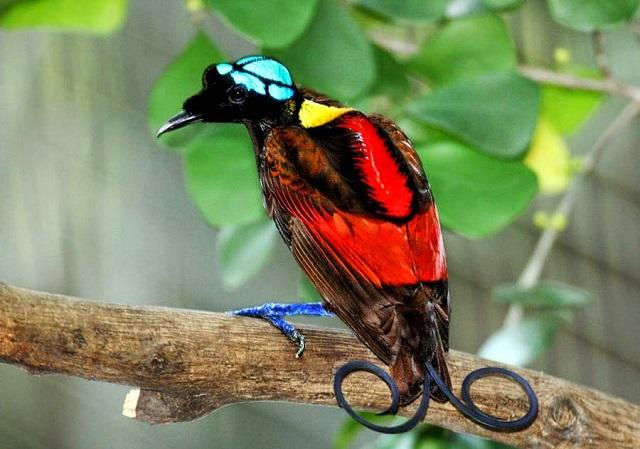 Красивейшие райские птицы 1