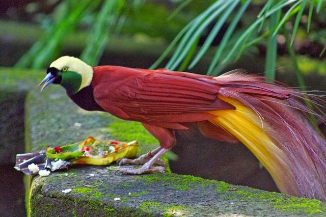 Красивейшие райские птицы 2